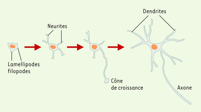 Établissement de la polarité neuronale in vitro.