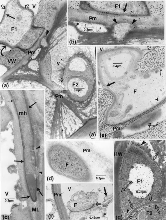 F, fungal cell; HW, host wall; mh, microhypha-like element; ML, middle lamella; Pm, pit membrane; V, vessel element; VW, vessel wall. (a and, enlarged portion, b): labelling for chitin is associated with: 1) the fungal lucent wall layers (light arrows), in cell F1, not to portions contacting the host walls. An inner double layer (straight, dark arrow) is present in the cell; 2) vessel secondary walls; 3) traces of fibrillo-granular matter in their lumina, and fungal cell vacuoles; and 4) the outer opaque layer (cell F1, curved arrow) (with its cytoplasm concentrated in the part filling the pit chamber) in portions close to or juxtaposed to the pit membrane. The inner fungal wall has a loosened appearance (arrow in b). The peg (arrowheads), in the pit chamber, is not delimited by a distinct wall, as indicated by its lack of labelling. The pit membranes are dislocated as shreds. (c): an aseptate intramural microhyphal element is seemingly locally delimited by only opaque bands (between thick arrows); these also appear to be discontinuous with signs of cell content invasion into the host wall (arrowheads). An incurving of the plasma membrane is discernible (thin arrow). (d): a lucent layer is not discernible in the intraparietal fungal cell (present in an altered pit membrane), demarcated by a layer of filamentous appearance. (e): labelling for cellulose. A fungal cell contouring a pit chamber shows a distinct, lucent layer in one portion (thin arrow); a thin and loosened layer along the labelled pit membrane (arrowhead); and a thicker layer seemingly becoming confluent with a more distended layer pervaded by opaque material (dark arrow); the latter is confluent with the coating (light, straight arrow). In the pit chamber of an adjoining vessel, an element (curved arrow), delimited by thin bands, and somewhat similar to that in d, is surrounded by a layer of fine filamentous matter. (f): a fungal cell wall is discontinuous or apparently overlaps at one point (light arrow). A collapsed hypha occurs nearby (thick arrow). (g): labelling for chitin is associated with fungal cell inner lucent layers (short, straight arrows). The region of cell F1 contacting the host wall has an imprecise lucent layer, with labelling mostly associated with outer opaque matter (long arrow) including a larger mass in a void space (large arrowhead) surrounding the cell; this irregular labelling is matched throughout by a non discernible plasma membrane, contrary to its clear presence elsewhere (between the short, light arrows). Bands of opaque matter and other fine components occur in the outer cell cytoplasm (in line with the large arrowhead), and a kink (small arrowhead) is visible in the plasma membrane. The outside opaque layers of cells F1 and F2 appear confluent at places (curved arrows).