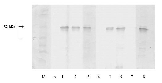Estimation of molecular weights of the coat proteins of MDMV isolates using Western blot analysis