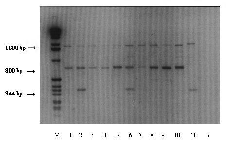 Molecular bands obtained as a result of IC-RT-PCR tests conducted on MDMV and SCMV infected maize samples