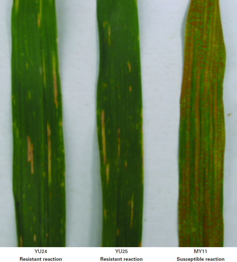 The different infection types of wheat stripe rust resistance to physiological strain CYR32 in various wheat genotypes.