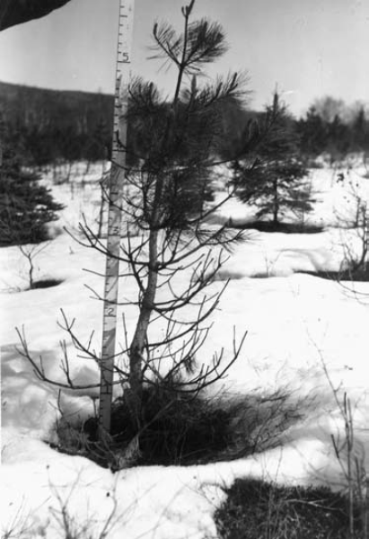 """All the lower branches up to three, four, or five feet on living red pine bore dead terminal shoots and later were completely defoliated"". Page 5 in Pomerleau and Ray (1957)."