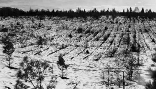 """In a few areas, especially in ground depressions, all the red pine trees were dead."" Page 6 in Pomerleau and Ray (1957)."