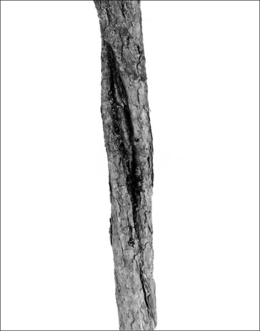Canker sample on residual red pine planted in 1934 and located at the Valcartier plantation studied by Pomerleau and Ray (1957).