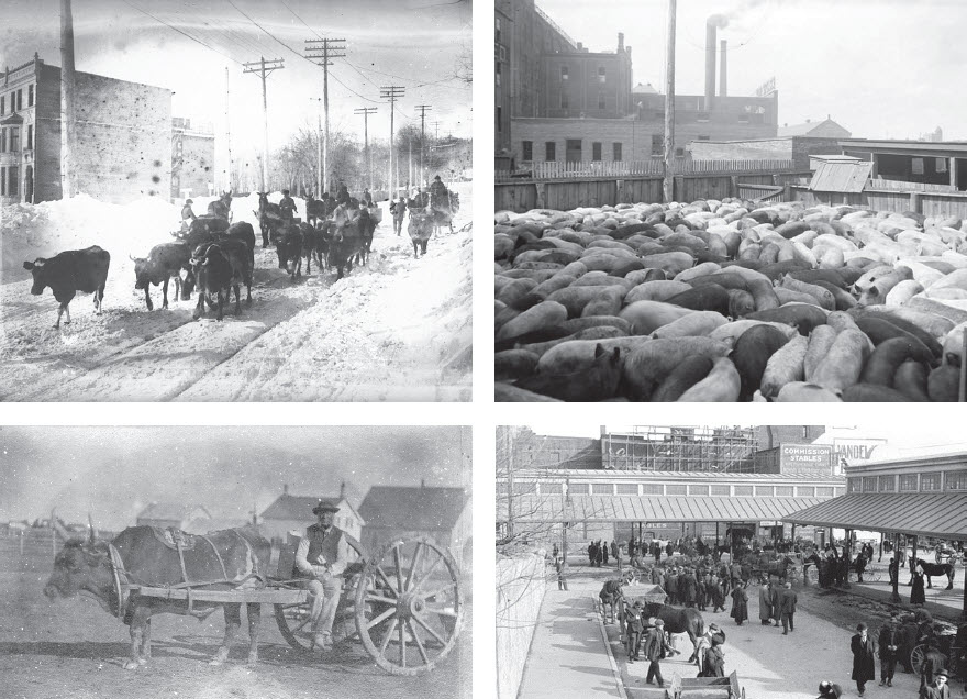 Livestock animals were part of the ordinary experiences of nineteenth- and early twentieth-century urban life