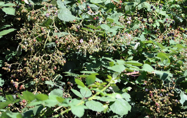A Blackberry Thicket
