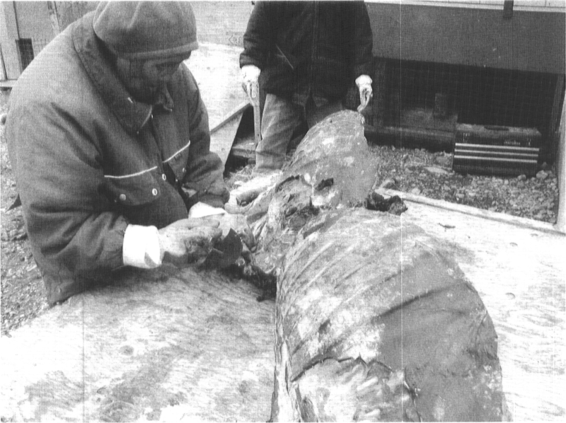 The preparation of traditional foods in an Inuit household, Arviat, 2002.