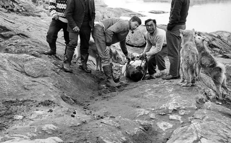 Gerti Nooter and Moses Akipi transporting a bearded seal. Nooter was invited to appear on this photograph, Diilerilaaq, 1967. Photo: N. Nooter, Museon 67-03-58-14.