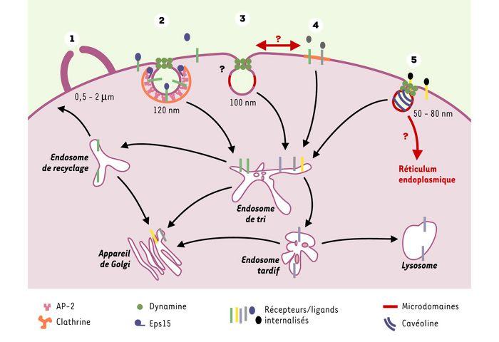 Endocytose chaque voie compte m s m decine for Dans cette voie