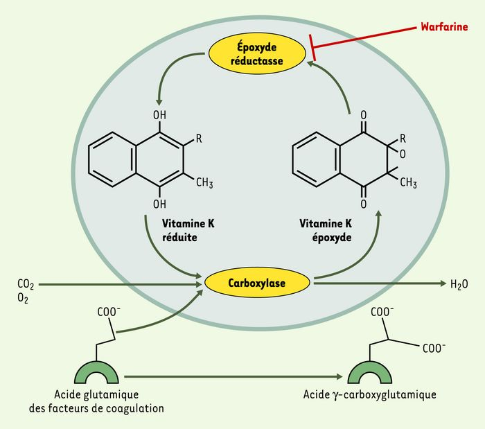Cycle de la vitamine K.