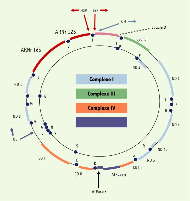 Mitochondries et reproduction – M/S : médecine sciences – Érudit