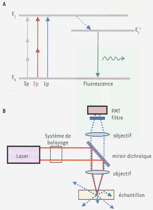 Microscopie deux photons pour l imagerie cellul m s for Miroir dichroique