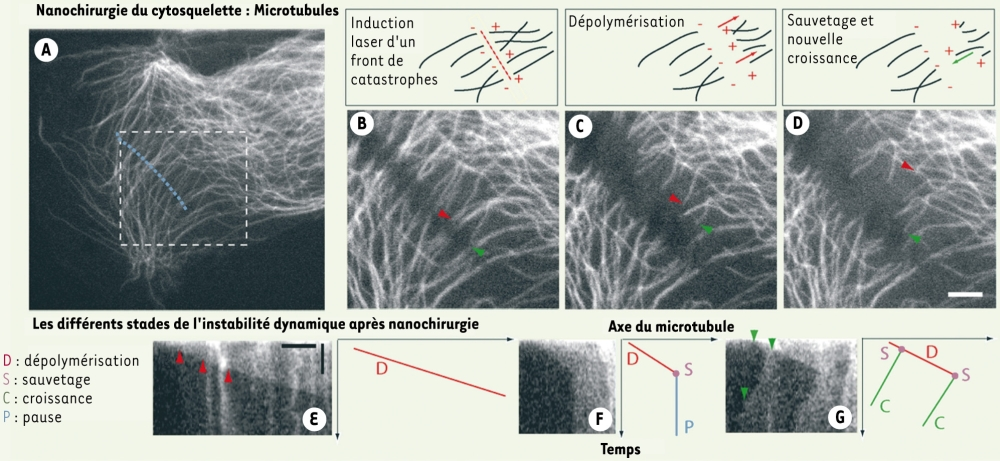 Nanochirurgie du cytosquelette en interphase.