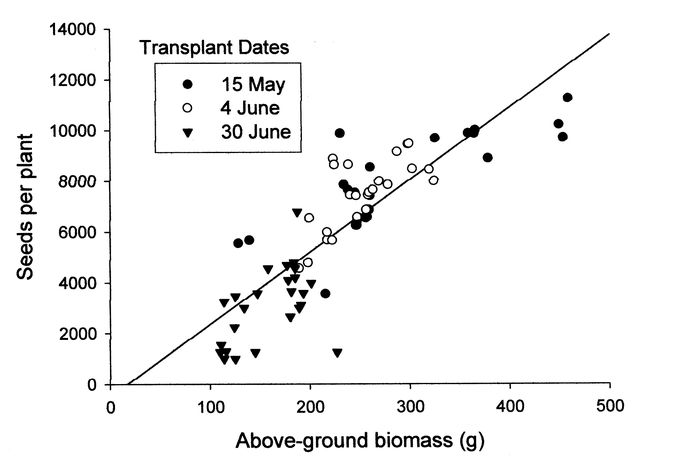 Regression of above-ground biomass versus total seed production in Abutilon theophrasti monoculture at three transplanting dates in 2000.
